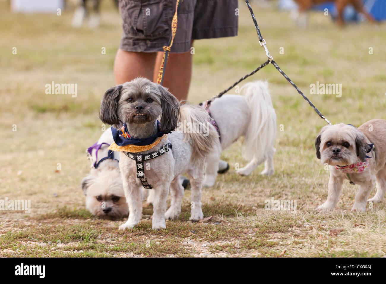 Small dogs on leash - USA - Stock Image