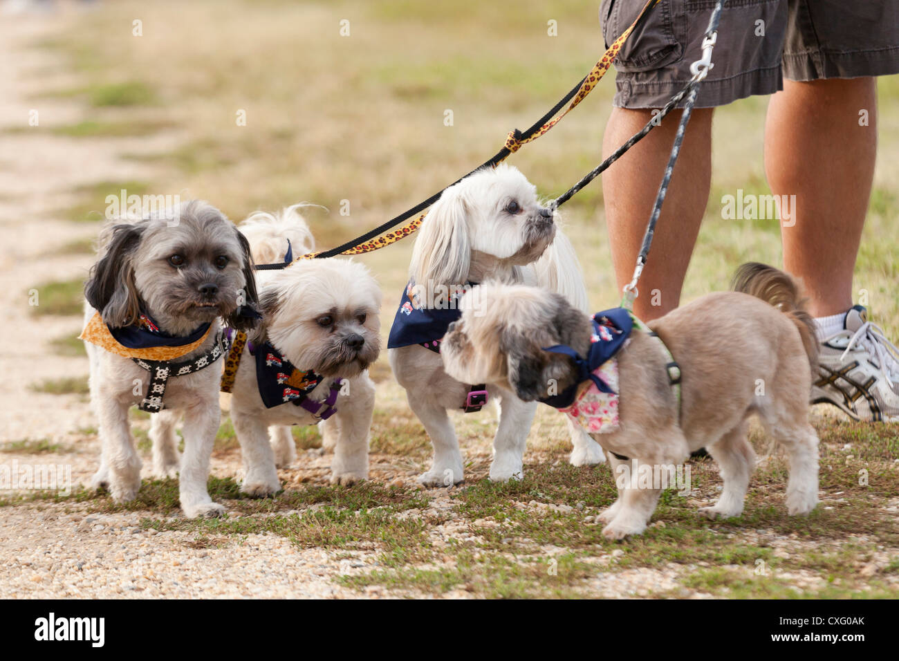 Small dogs on leash - Stock Image