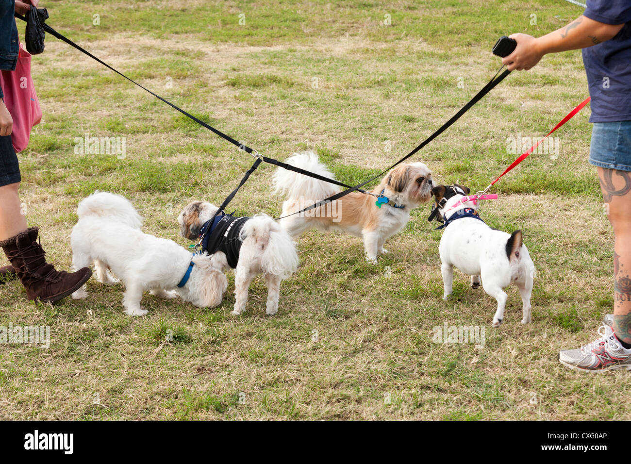Small dogs meeting at the dog park - Stock Image