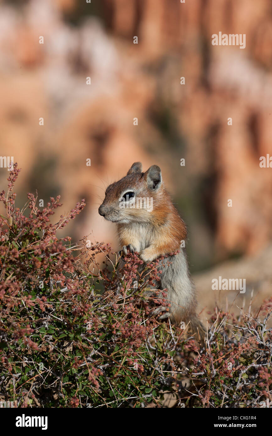 CHIPMUNK ON A SHRUB with a background bokeh of Bryce Canyon, Utah, USA. - Stock Image