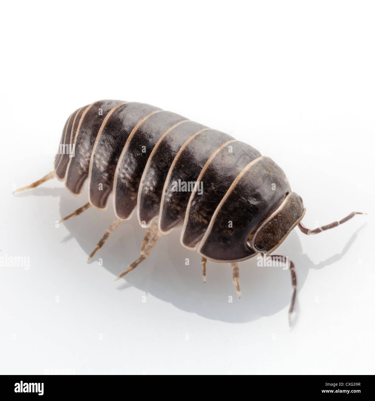 Louse Cut Out Stock Images Pictures Alamy