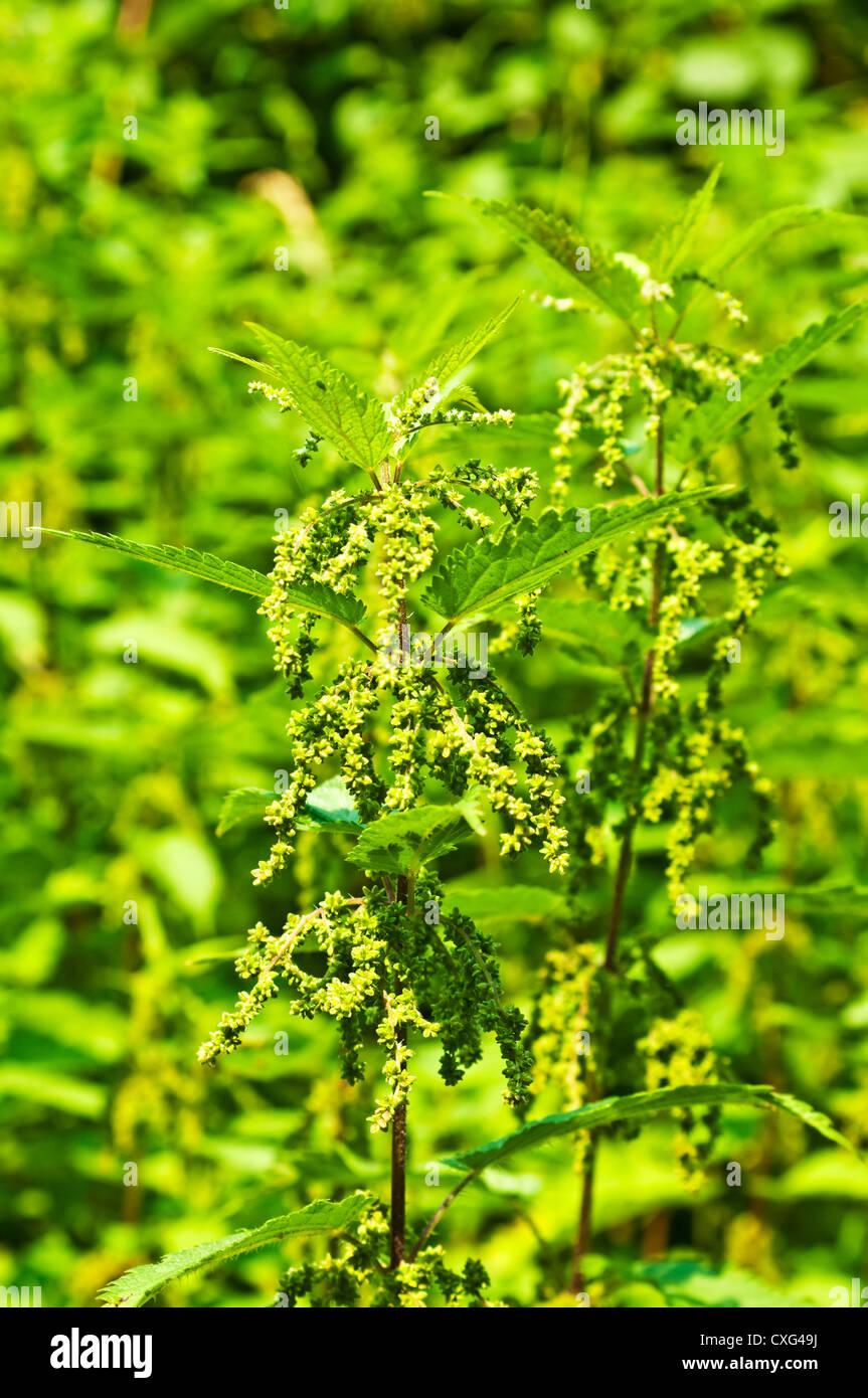stinging nettle  with eatable seeds - Stock Image