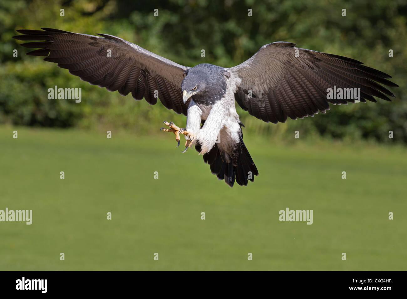 Grey Buzzard Eagle (Chilean Blue Eagle, Black-chested Buzzard Eagle) in flight - Stock Image