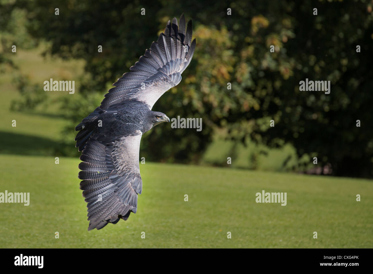 Grey Buzzard Eagle (Chilean Blue Eagle, Black-chested Buzzard Eagle) - Stock Image