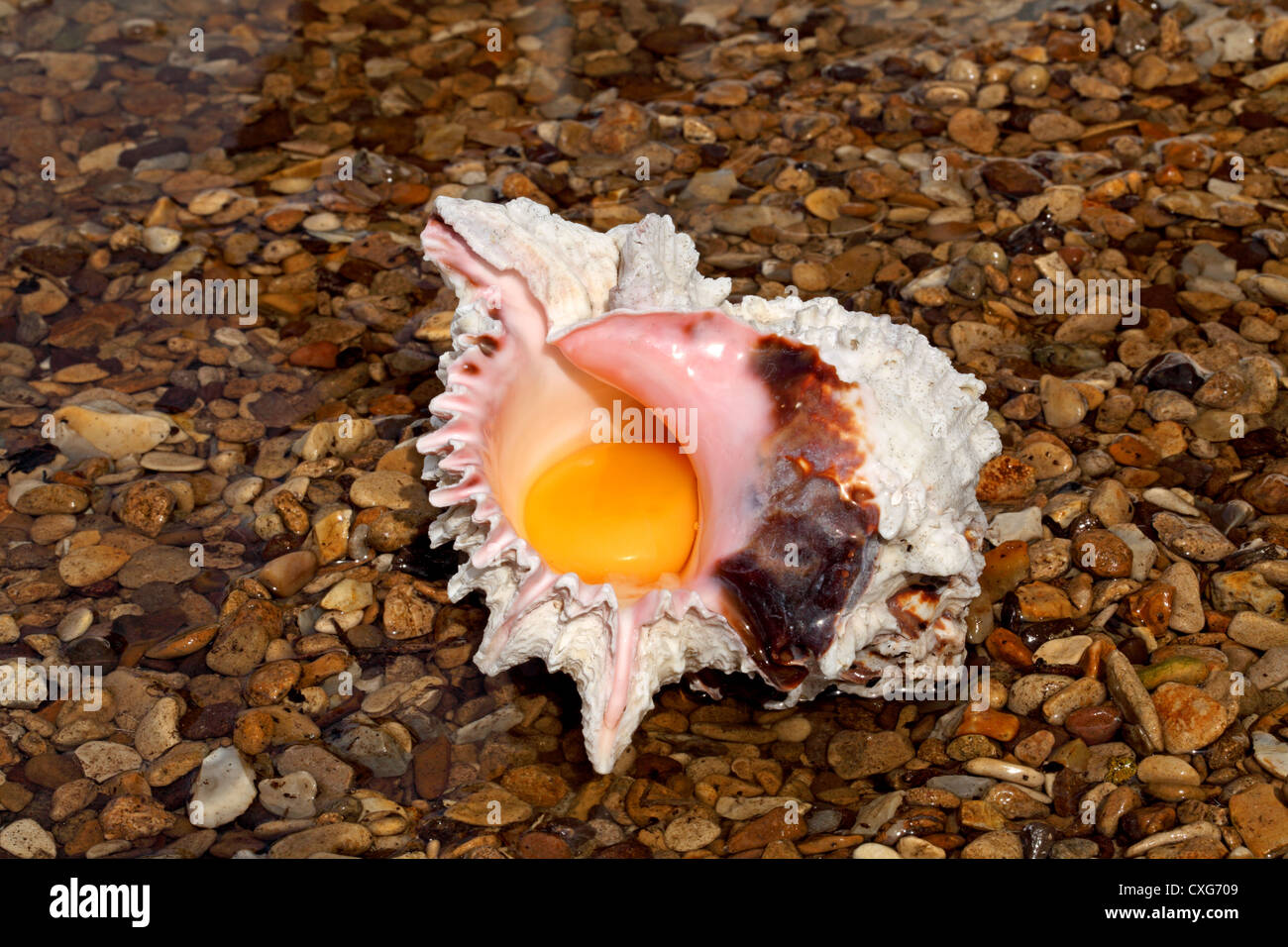 Eggshell or seafood? A concept image of an egg yolk in a shell standing in shallow water on a pebble beach - Stock Image