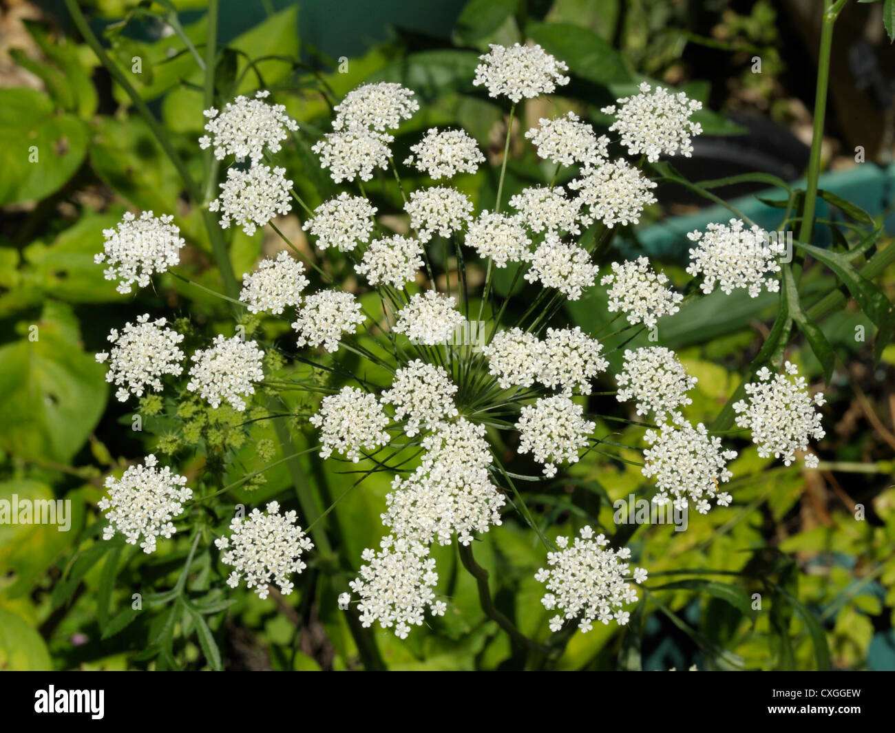 Bullwort, Ammi majus Stock Photo