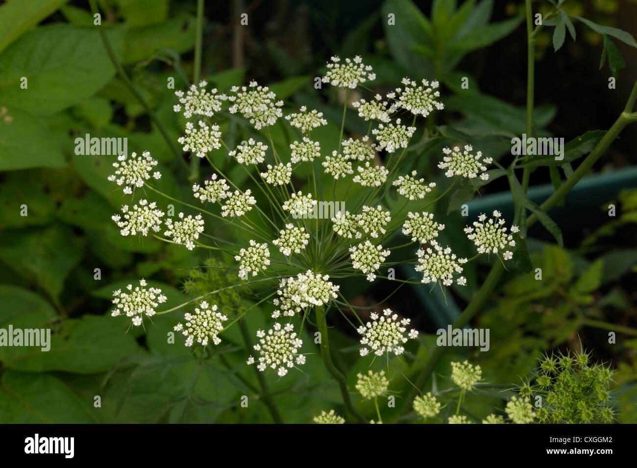 Bullwort flowers, Ammi majus Stock Photo