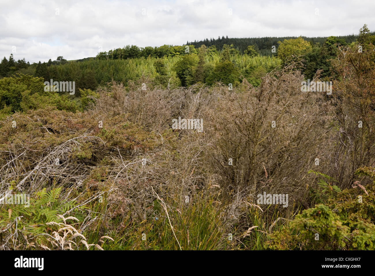 Dead and dying juniper trees in Moor House Upper Teesdale Nature Reserve where the Phytophthora austrocedri disease - Stock Image