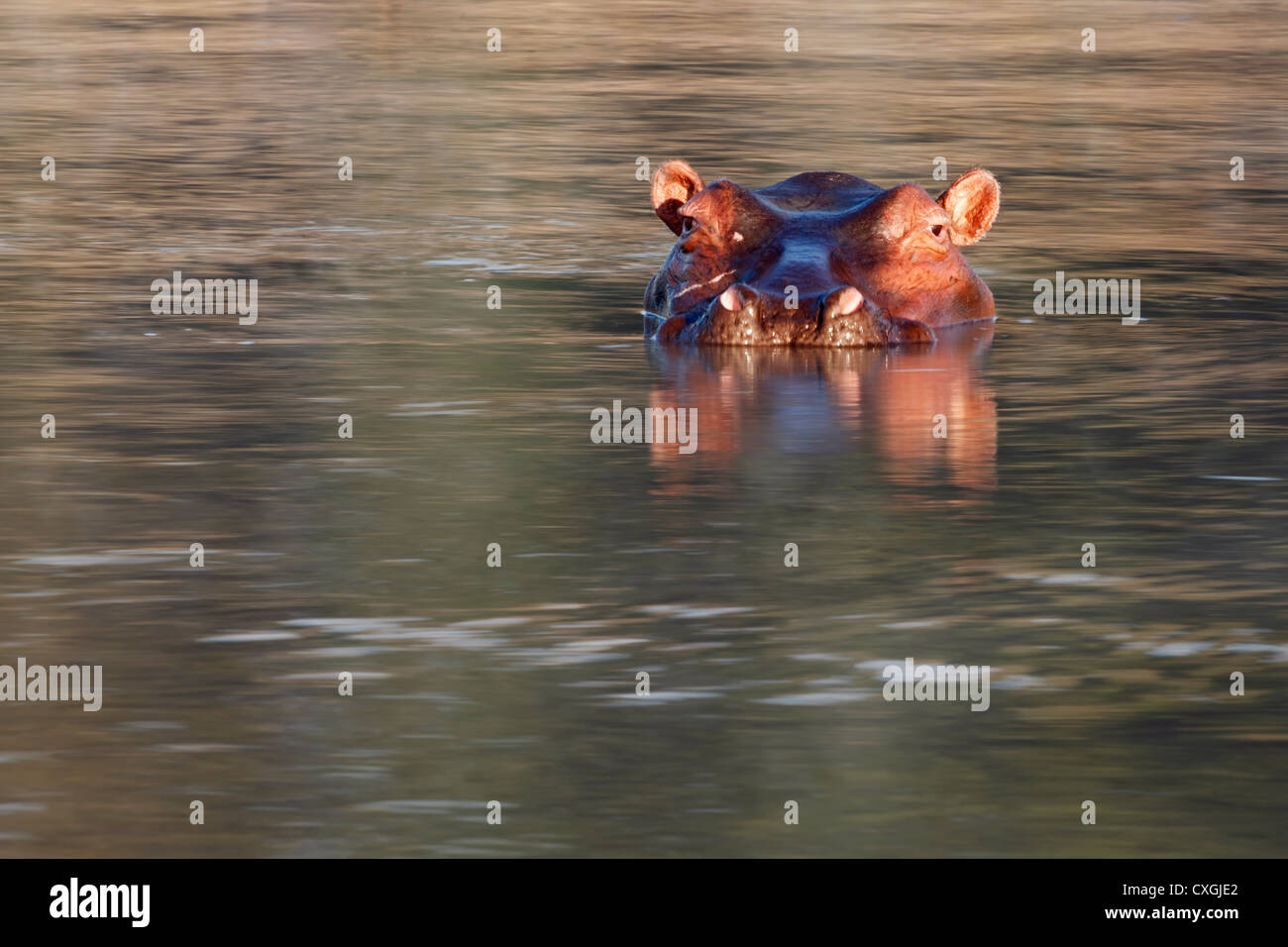 Hippo in the water. South Luangwa National Park, Zambia, Sambia, Nsefu Sector - Stock Image