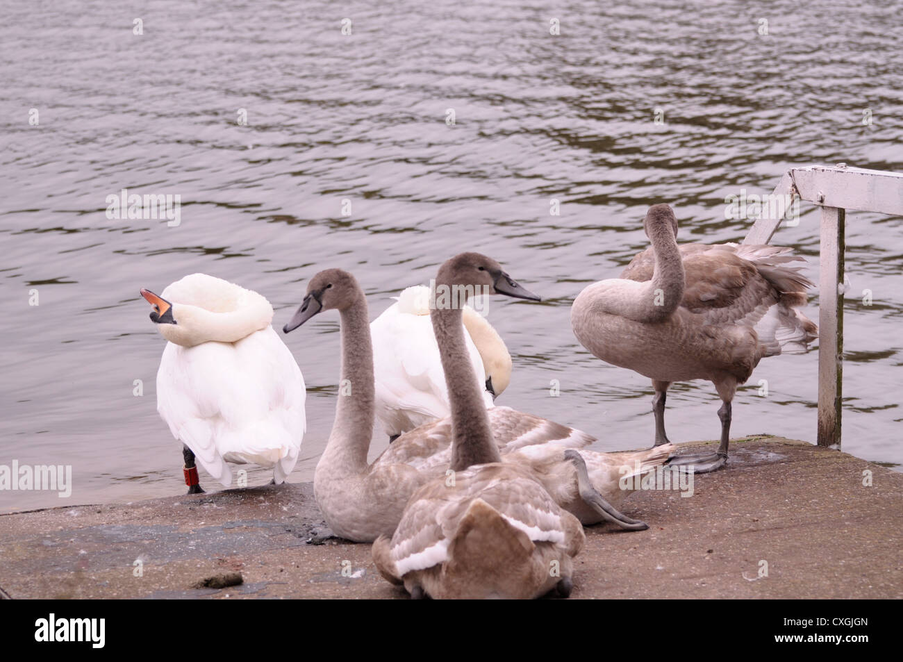 The Swans 3 - Stock Image