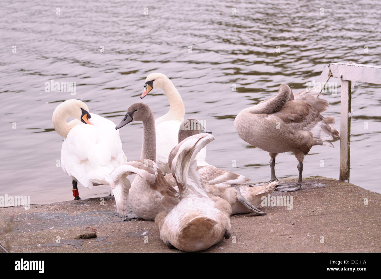 The Swans 2 - Stock Image