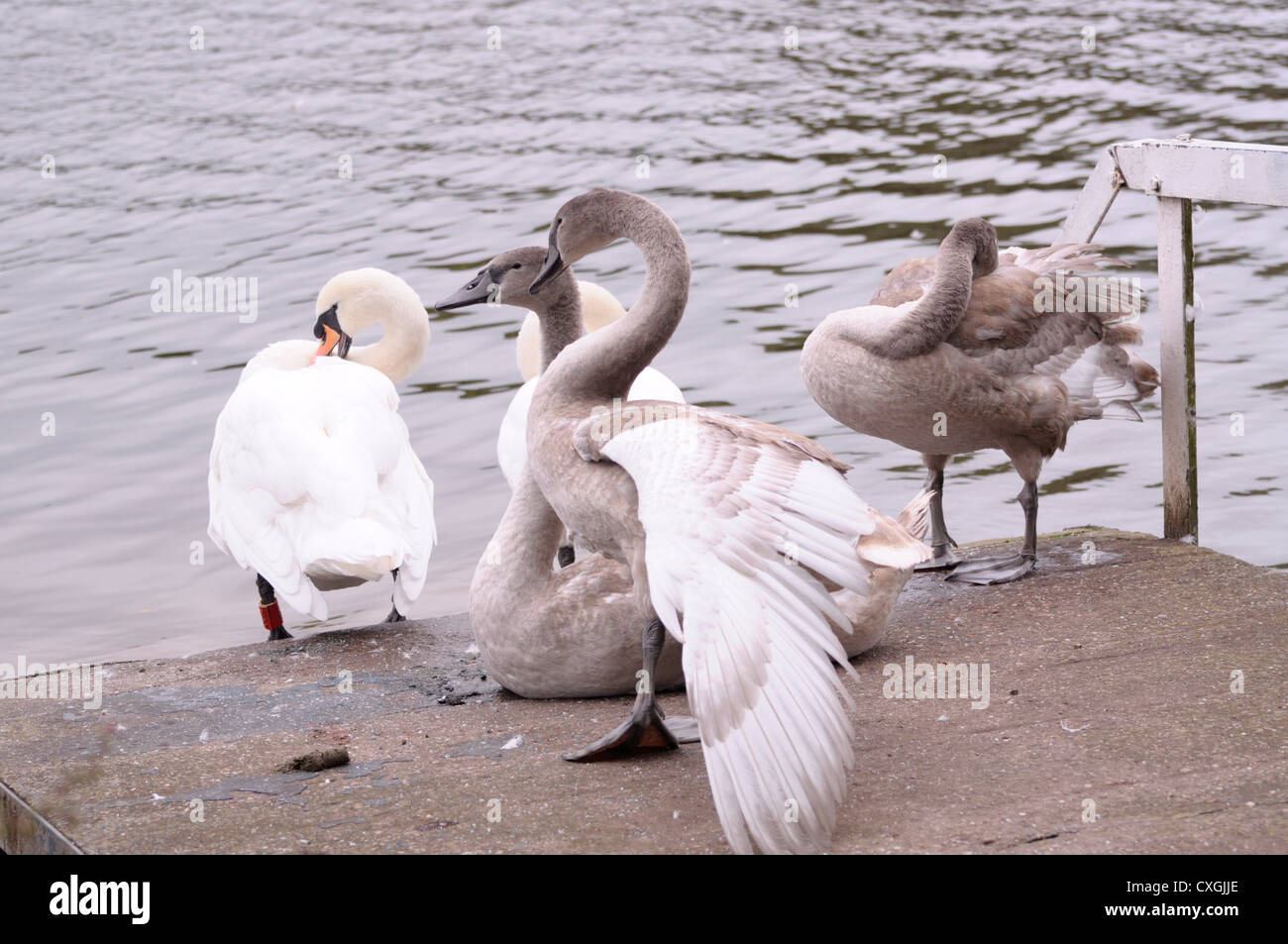 The Swans - Stock Image
