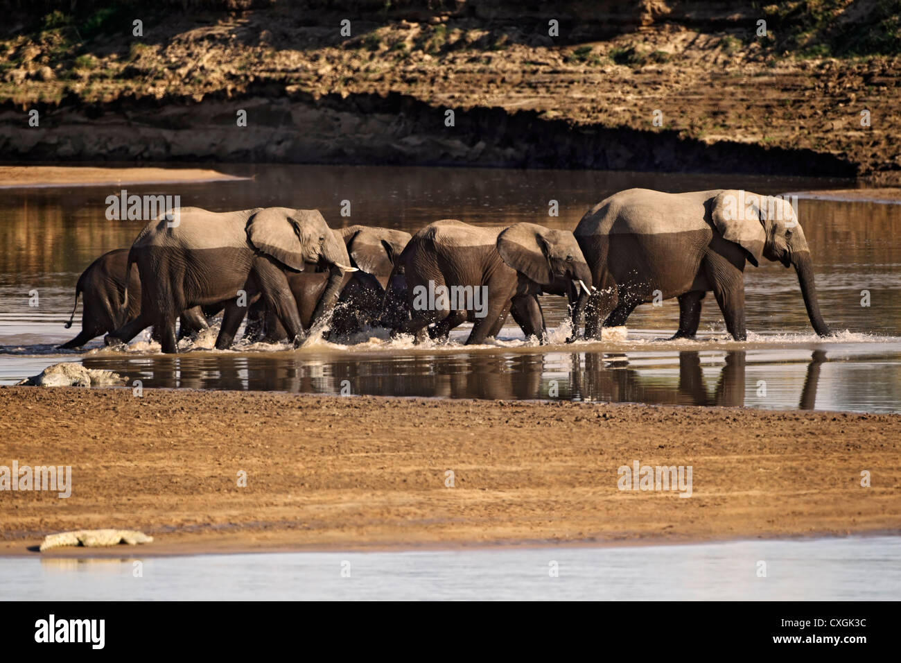 Herd of elephants at the Luangwa river. South Luangwa National Park, Zambia, Sambia, Nsefu Sector, Loxodonta africana - Stock Image