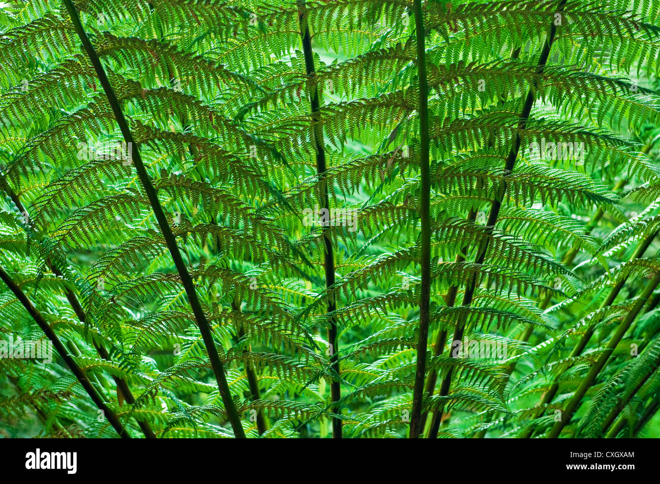Lush green leafs of a giant fern. - Stock Image