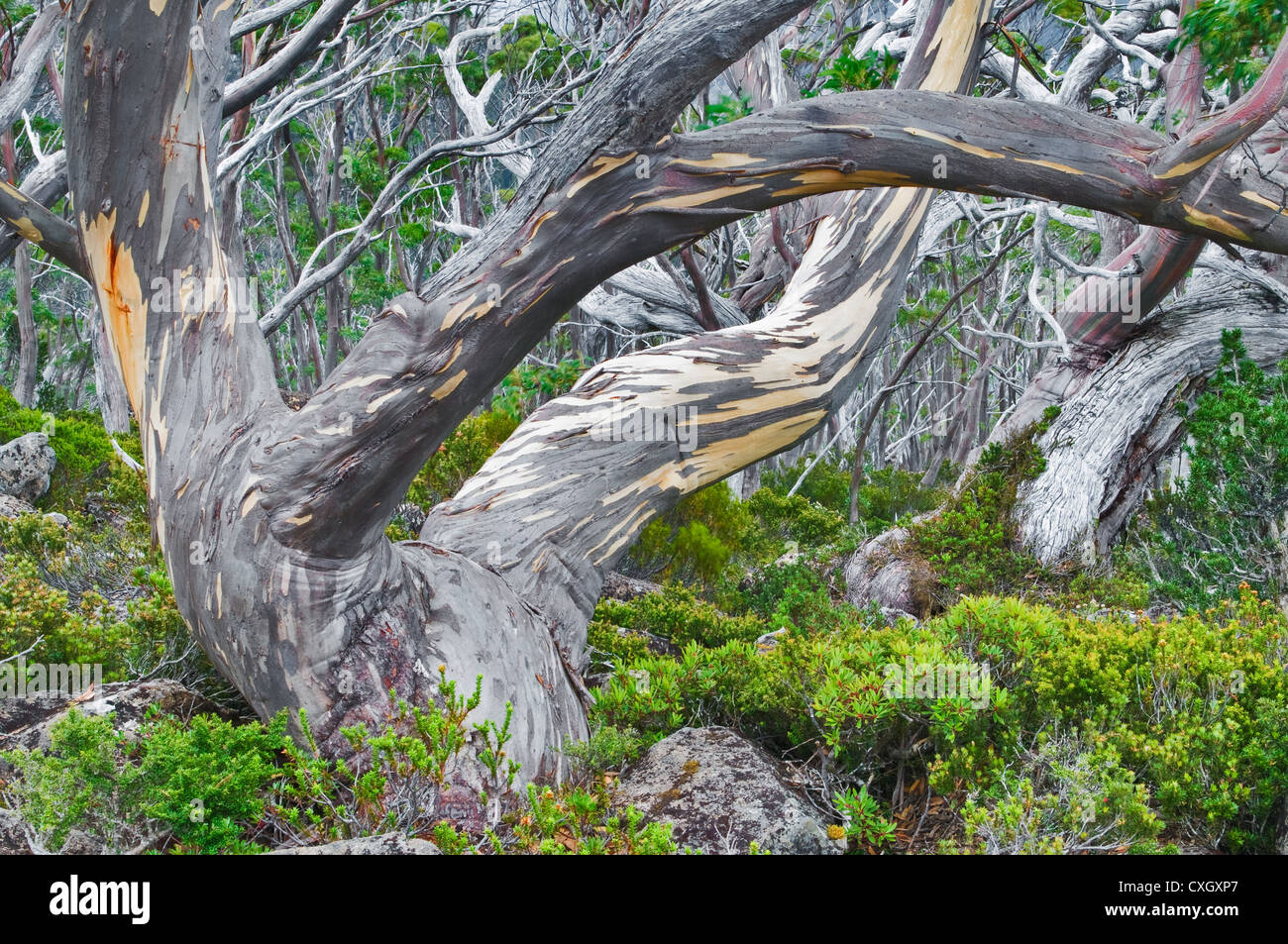 Colourful Snow Gums in the High Country. - Stock Image