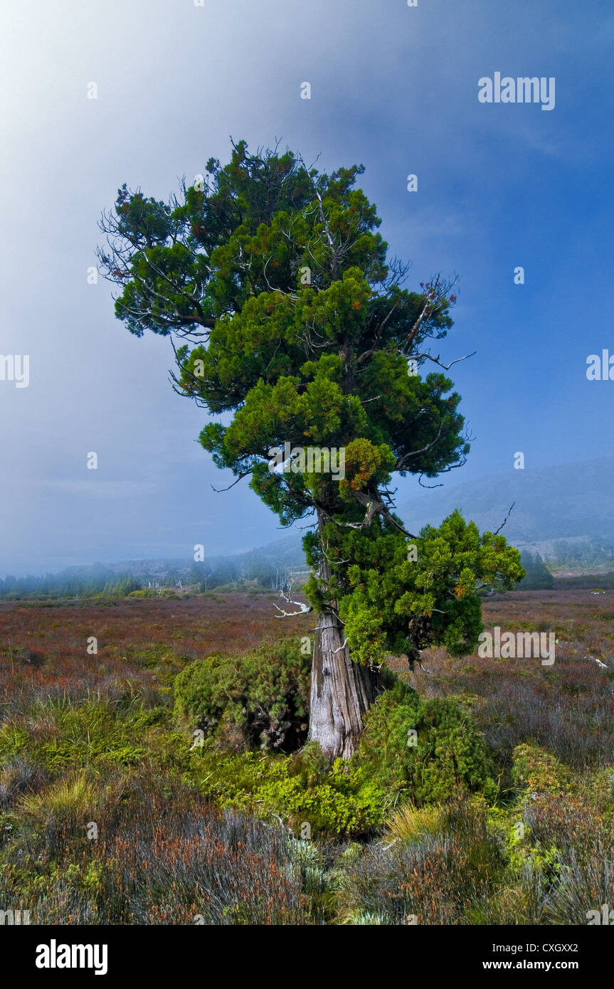 Rare Pencil Pine in mist on Central Plateau. - Stock Image