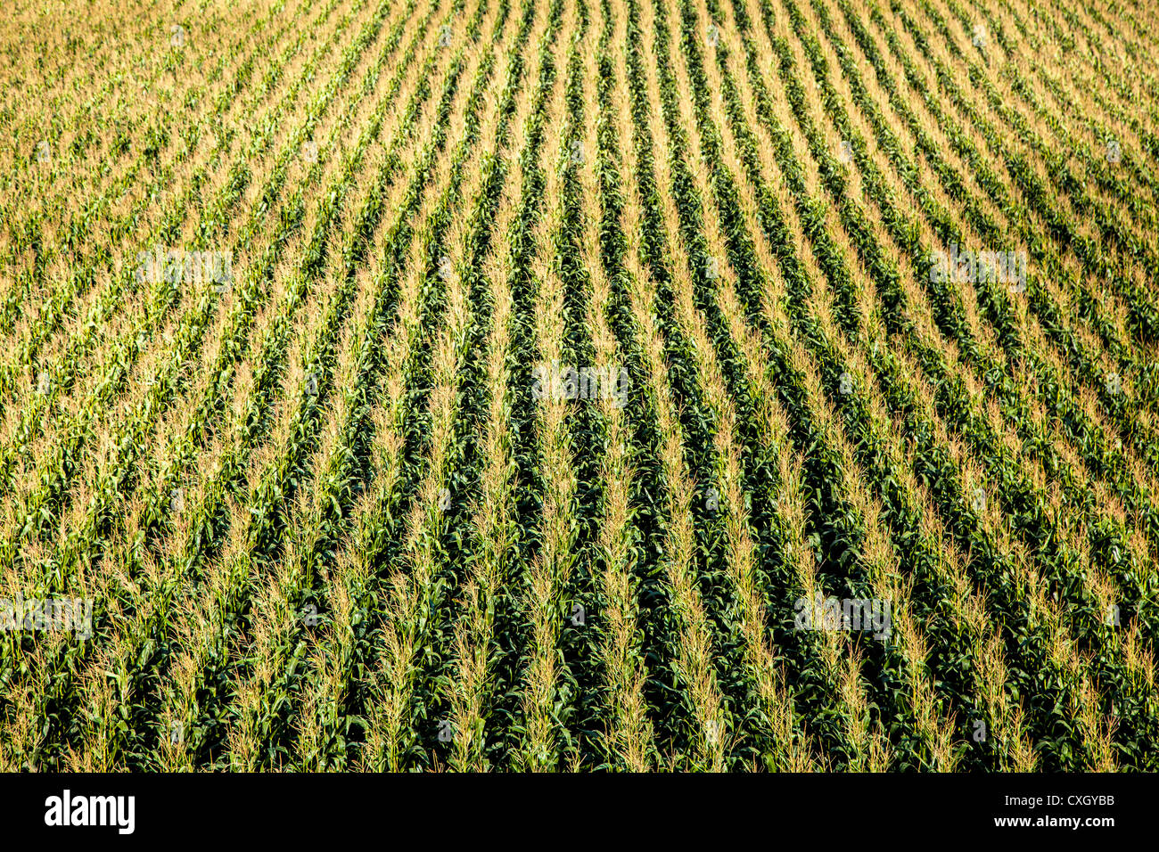 Corn field, structure, seen from above. - Stock Image