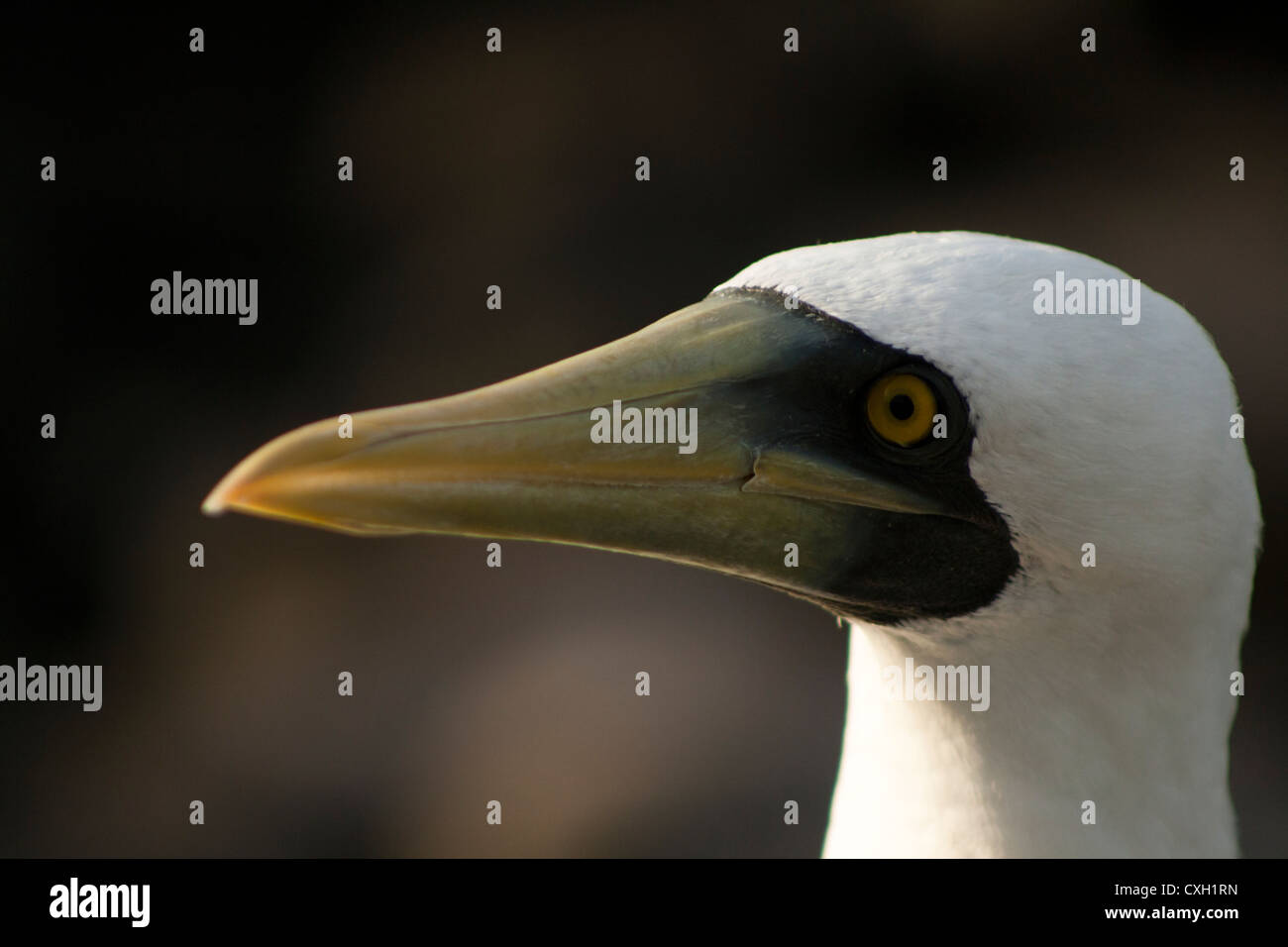 Masked Booby face Sula dactylatra, at Abrolhos islands, South Bahia, Brazil - Stock Image