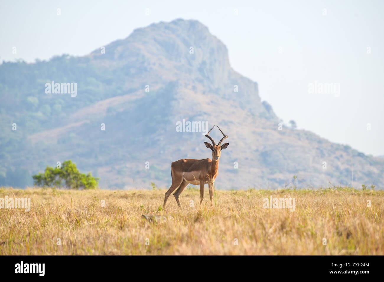Lone male Gazelle in Mlilwane Game Reserve. Stock Photo