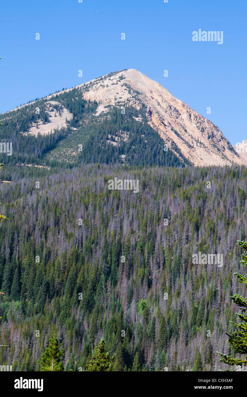 Mountain Pine beetles killed many tress at Rocky Mountain National Park in recent years. Purple-colored trees in - Stock Image