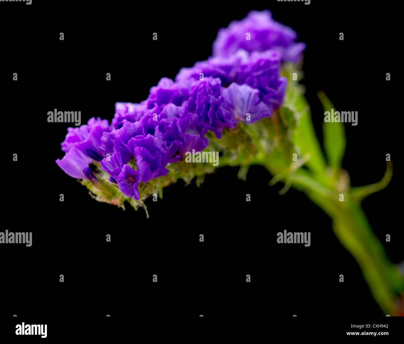 Limonium. Common name. Statice, Sea lavender - Stock Image