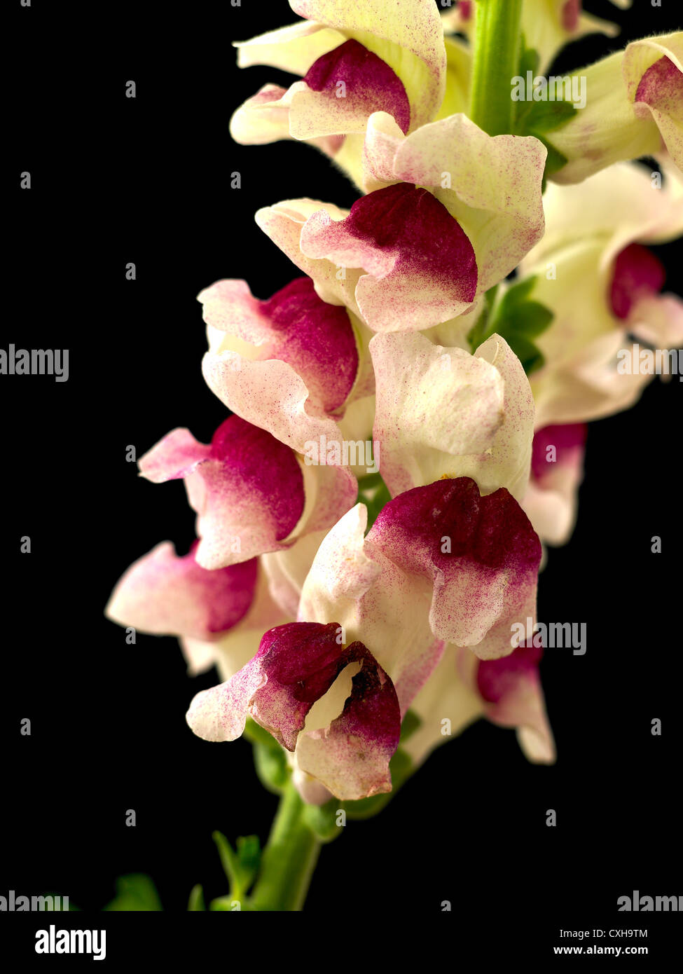 Antirrhinum. Common name. Snapdragon, Toad's mouth 2 - Stock Image