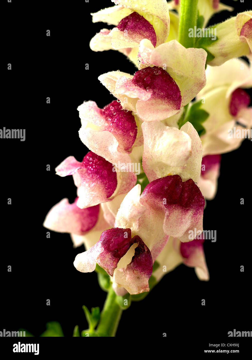 Antirrhinum. Common name. Snapdragon, Toad's mouth (wet) - Stock Image