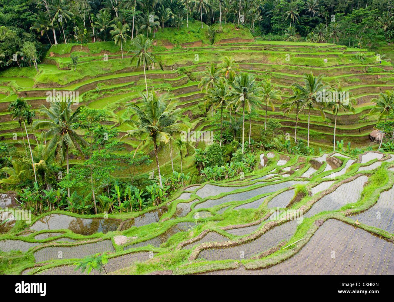 rice terraces of bali, indonesia - Stock Image