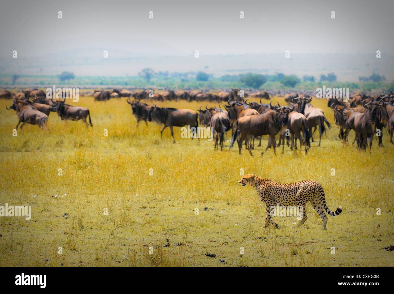 cheetah hunting - Stock Image