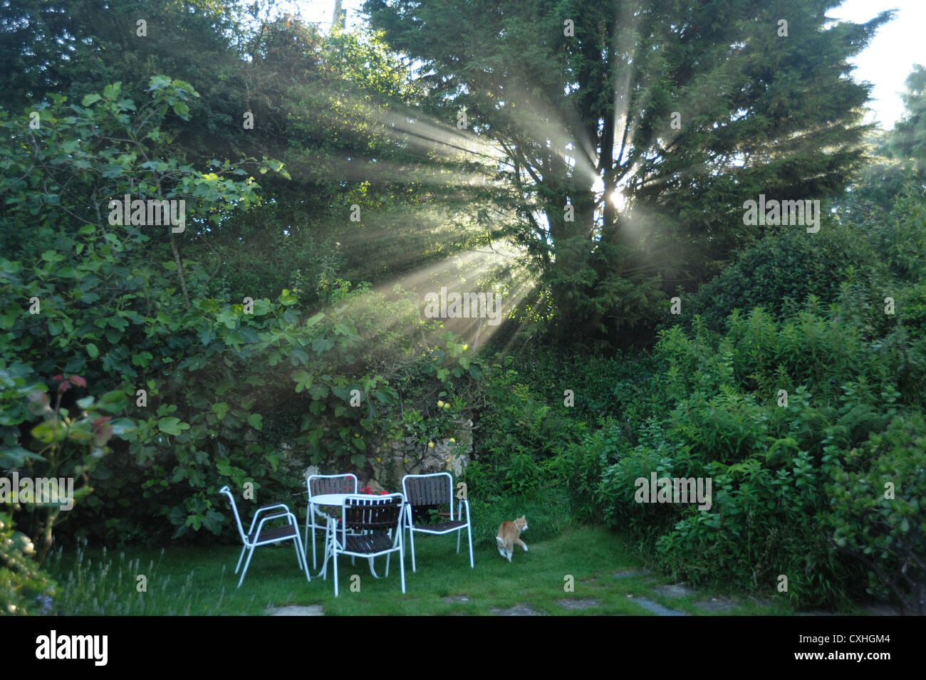 The morning sun's misty rays through a conifer tree in a Devon garden - Stock Image