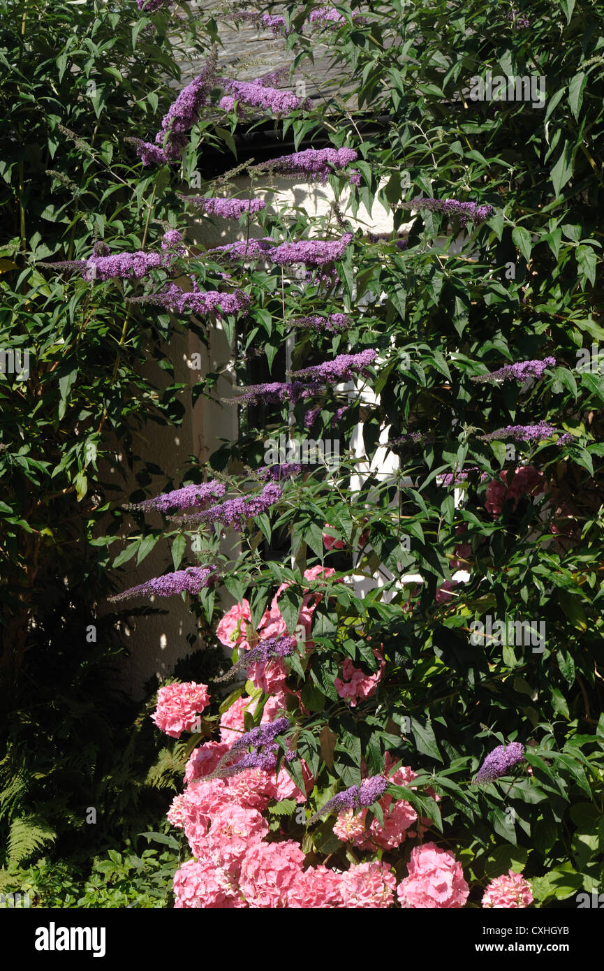 Buddliea davidii and pink hydrangea against a house wall - Stock Image