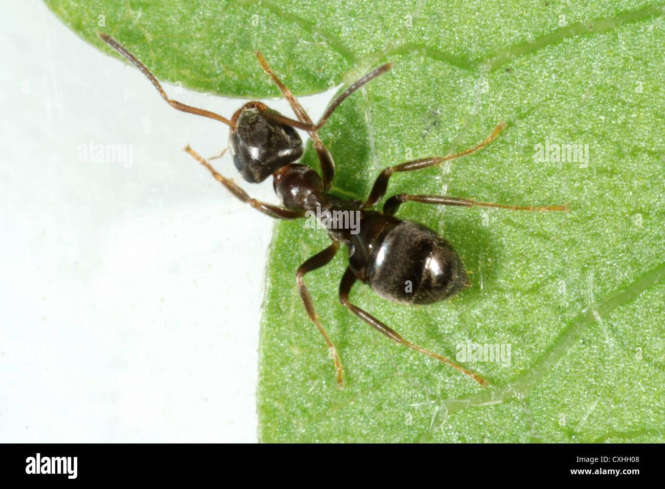 Black ant (Lasius niger) on a leaf - Stock Image
