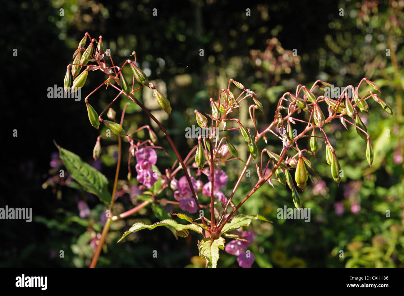 Himalayan balsam (Impatiens gladulifera) explosive seedpods and flowers of this invasive weed Stock Photo