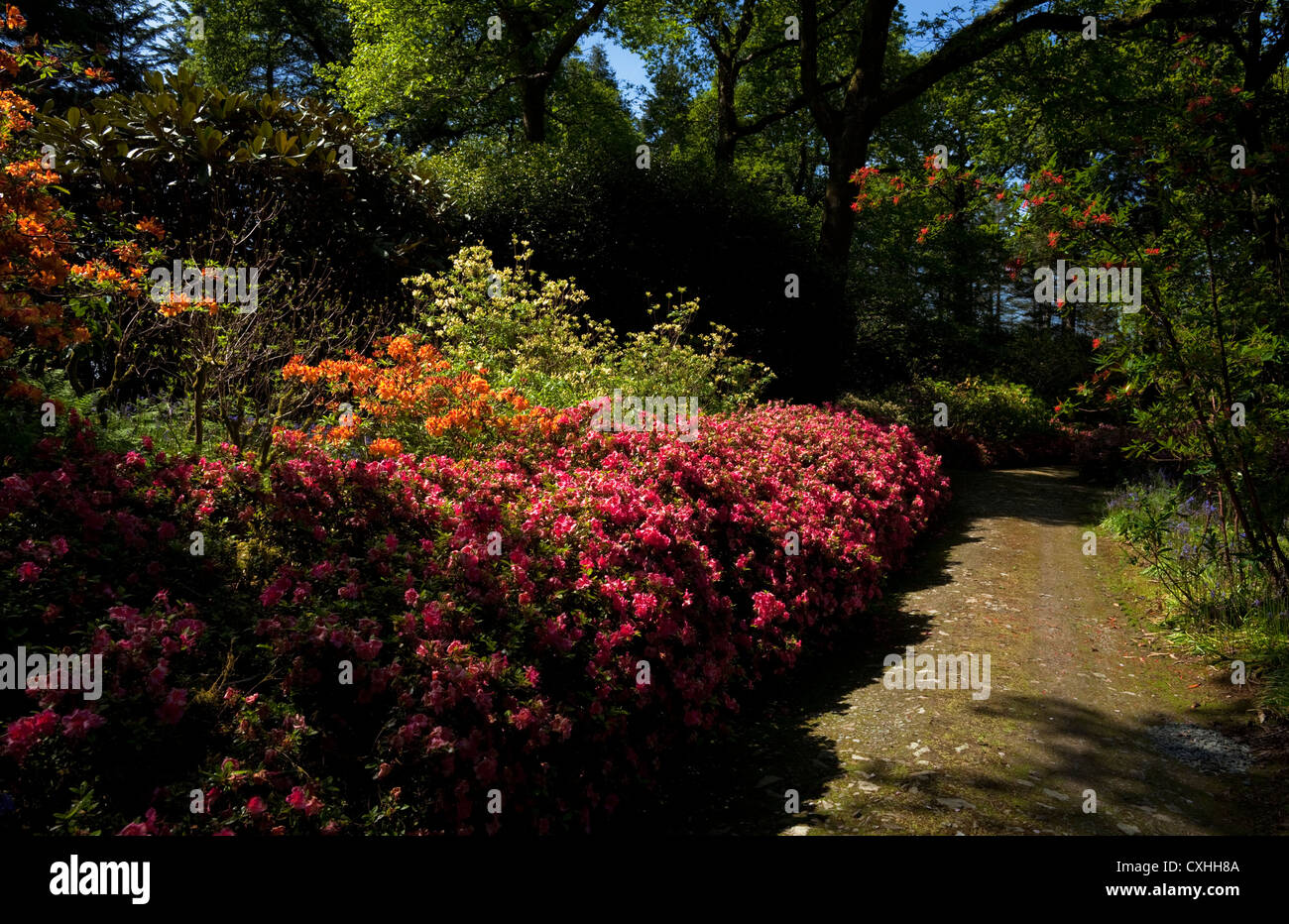 Pathway Lined with Rhodedendron and Azaleas, Mount Congreve, Robinsonian Wild Gardens, Near Kilmeaden, County Waterford, - Stock Image