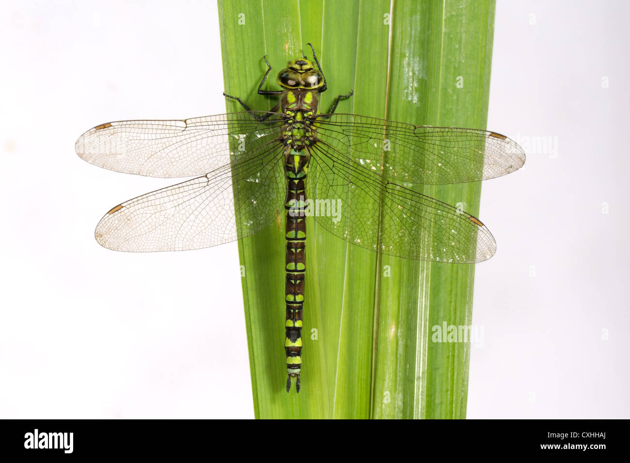Southern hawker dragonfly Aeshna cyanea on an iris leaf - Stock Image