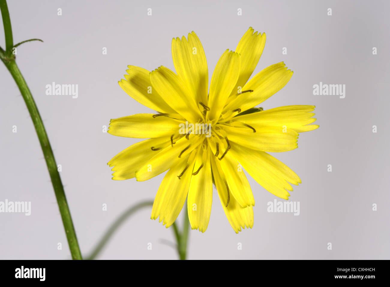 Nipplewort Lapsana communis flower - Stock Image