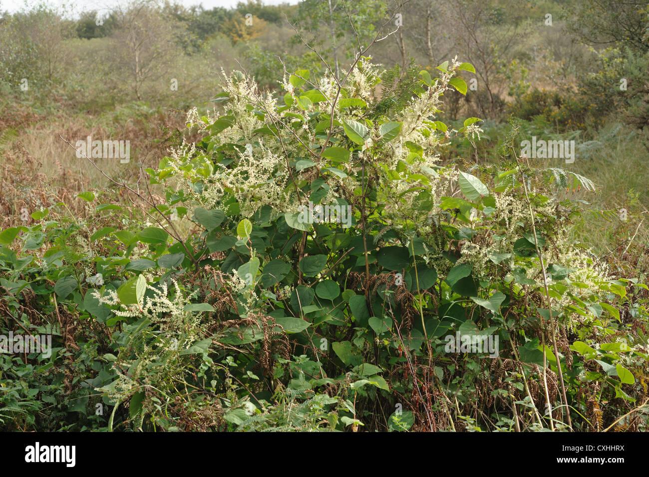 Japanese knotweed Fallopia japonica flowering plants - Stock Image
