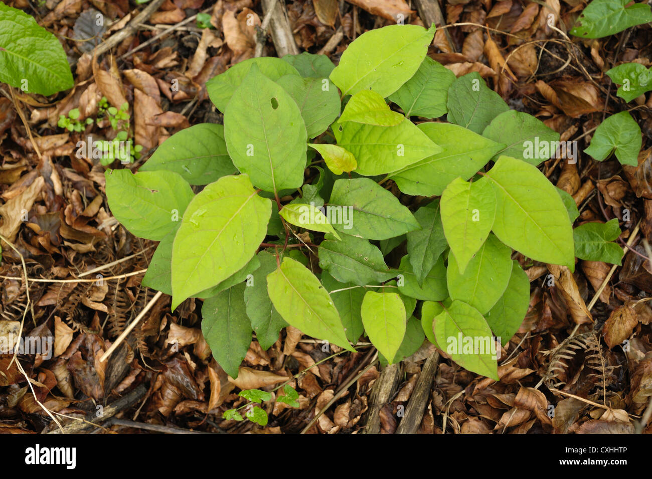 Japanese knotweed Fallopia japonica regrowth of plants after herbicide application - Stock Image