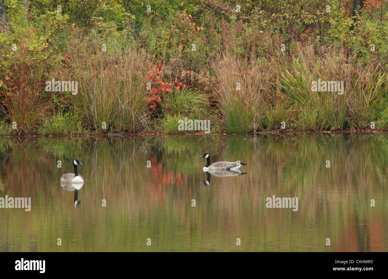 Two Canada geese on a rural pond. - Stock Image