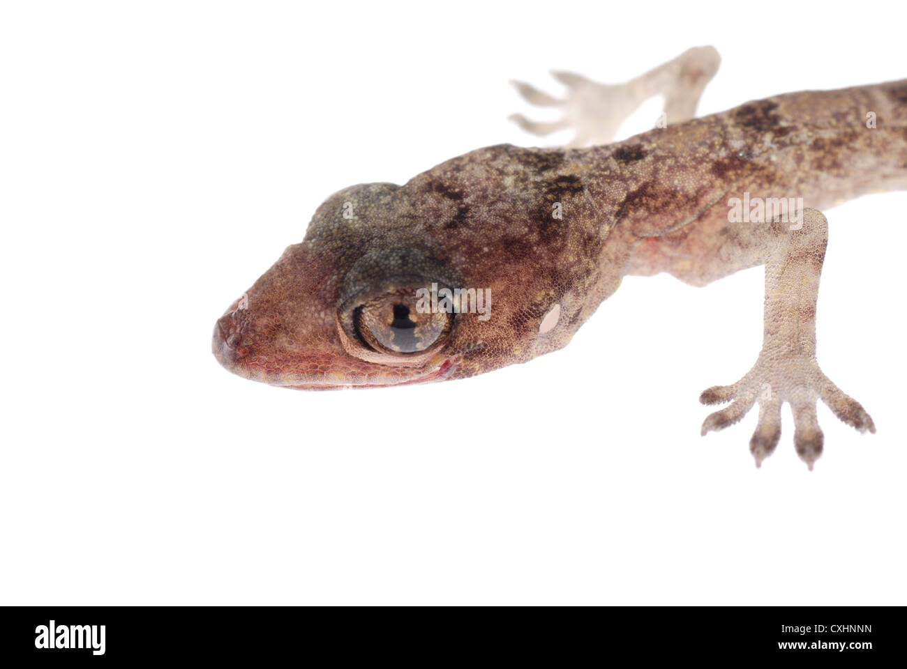 gecko babe head isolated Stock Photo