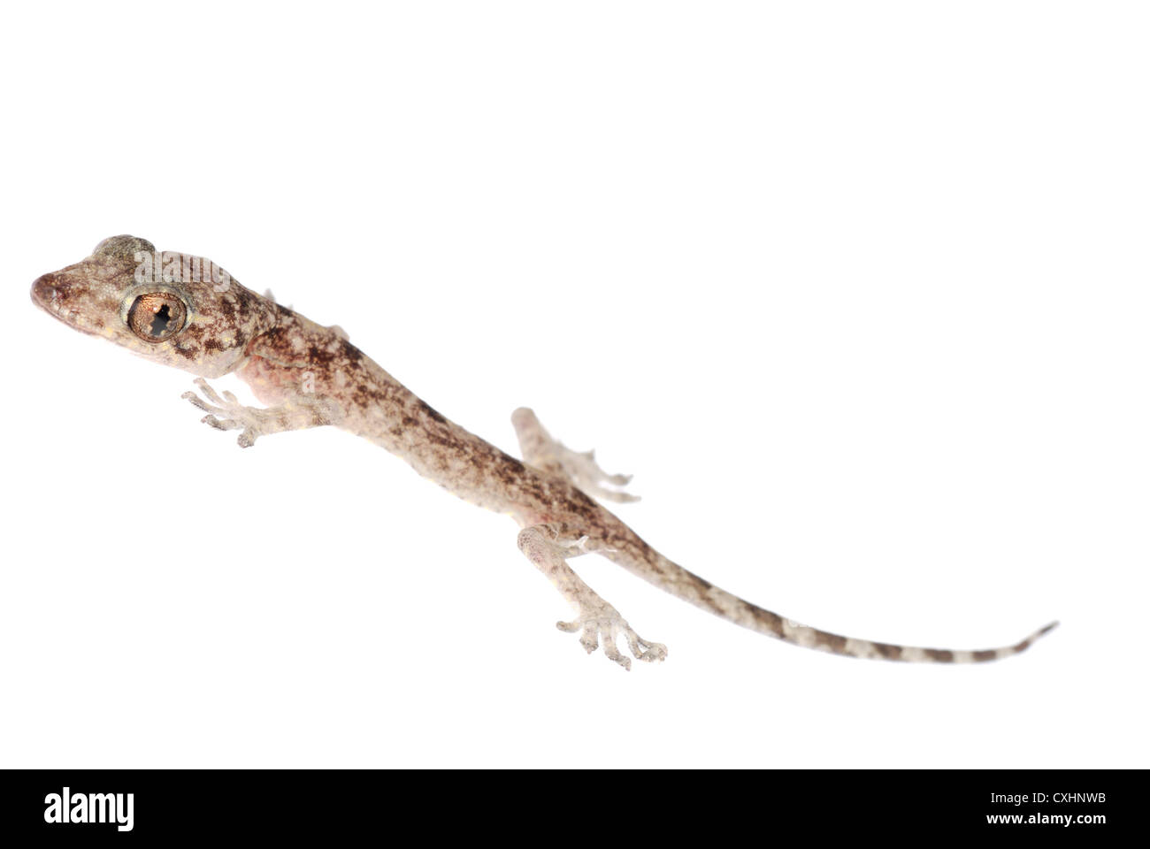 gecko babe isolated Stock Photo