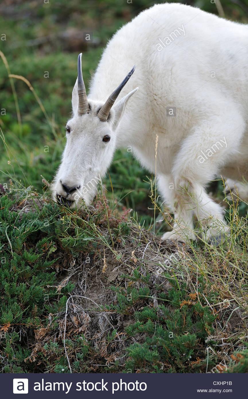 A mountain goat feeding on wild flowers - Stock Image