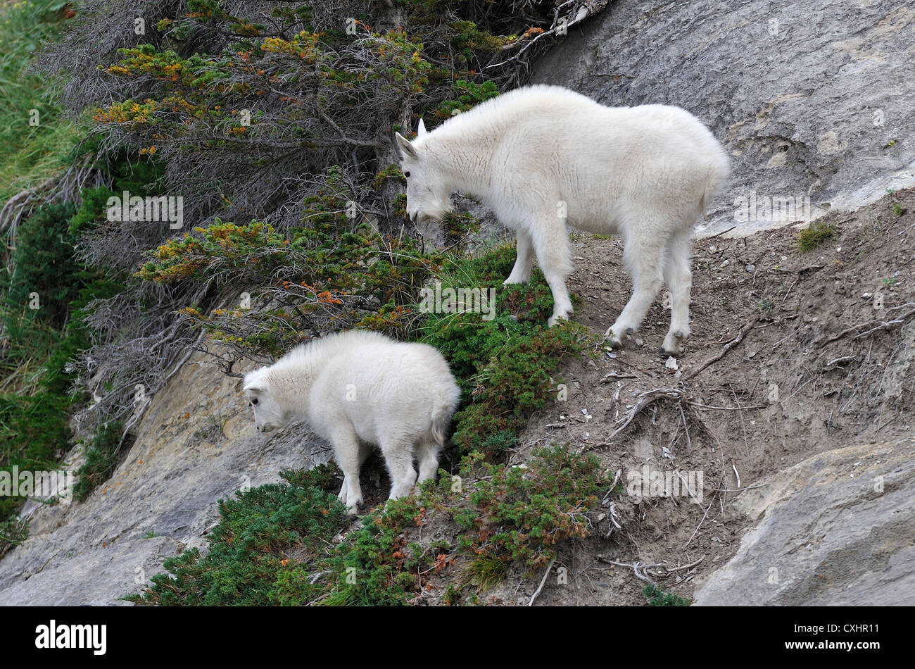 A mother mountain goat with her new baby. - Stock Image