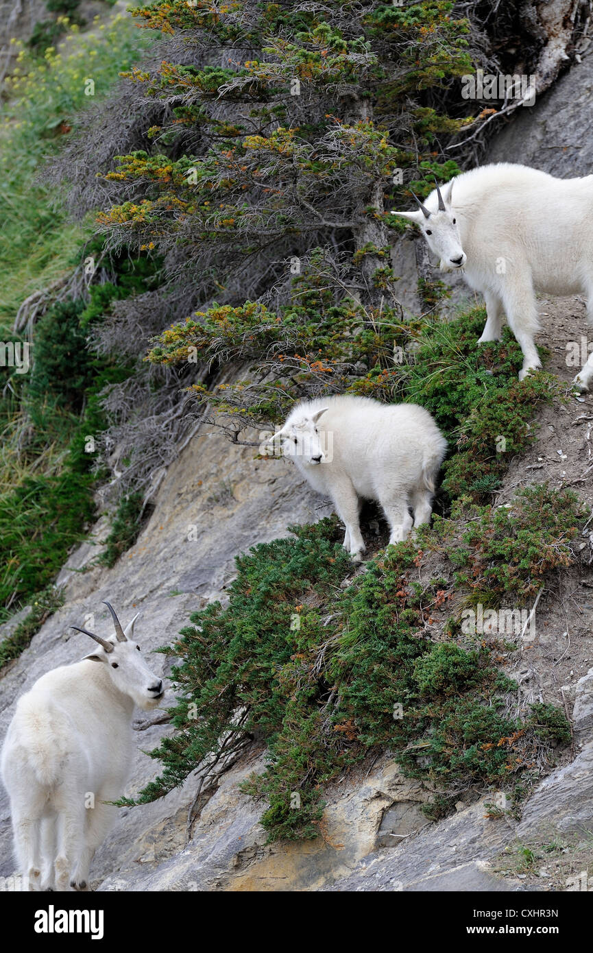 Three wild mountain goats - Stock Image