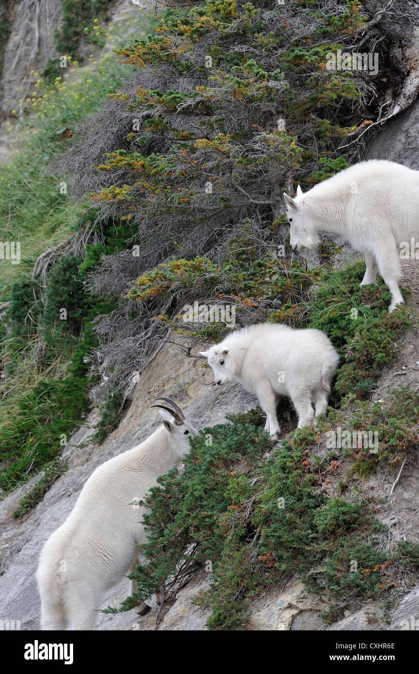 Three mountain goats. - Stock Image