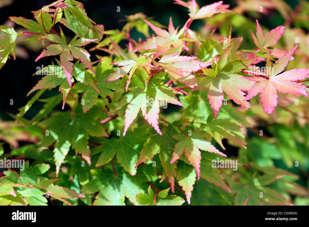acer palmatum rising sun closeup selective focus plant portraits japanese maples pink green leaves foliage tipped - Stock Image