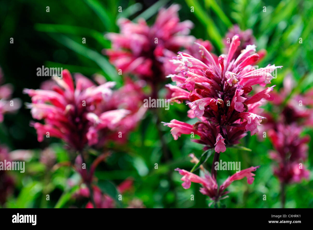 agastache red fortune red flower flowers flowering spires perennials closeup selective focus plant portraits - Stock Image