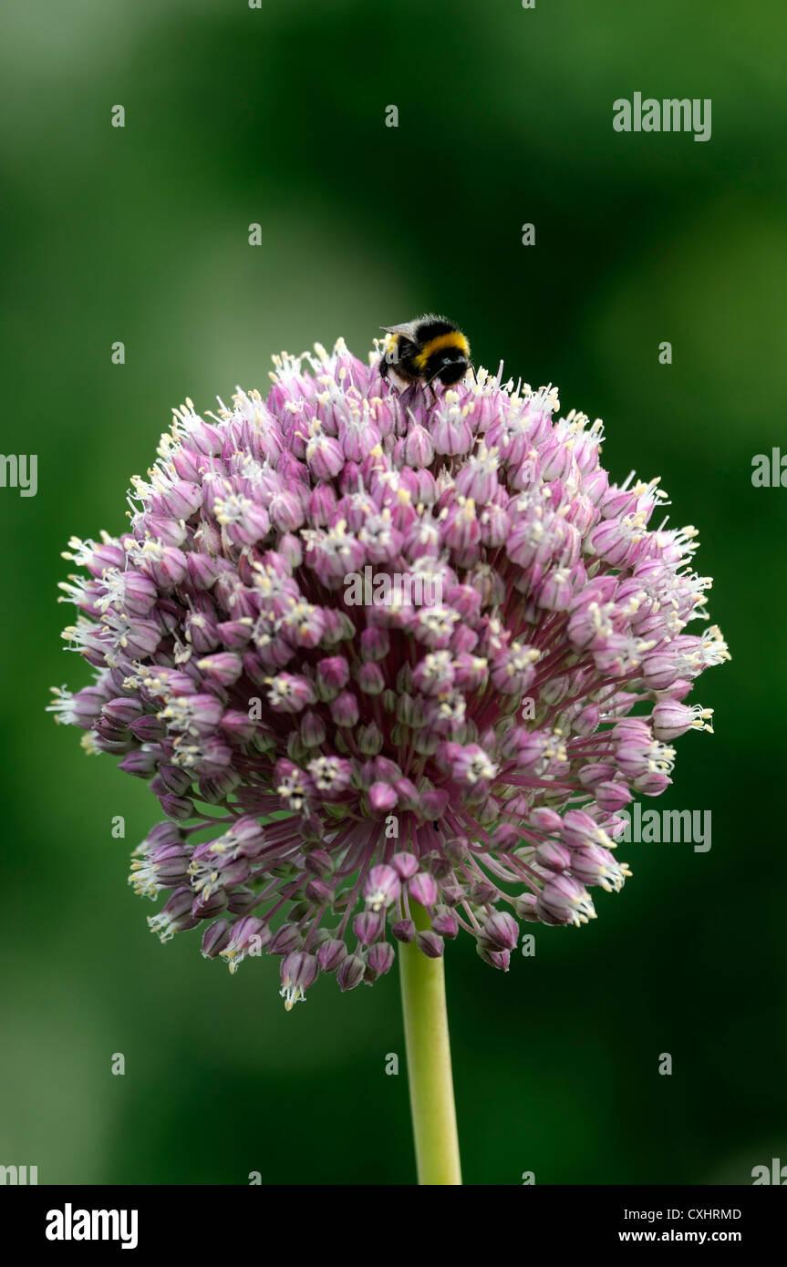 Allium Tuberosum Chinese Garlic Chives Pink Flower Bumble Bee