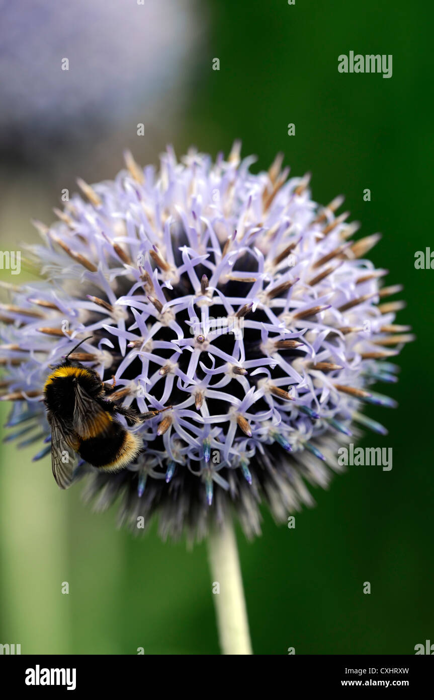 Echinops bannaticus blue flower bumble bee globe thistle perennials echinops bannaticus blue flower bumble bee globe thistle perennials flowers plant portraits spikey purple blue summer closeup mightylinksfo