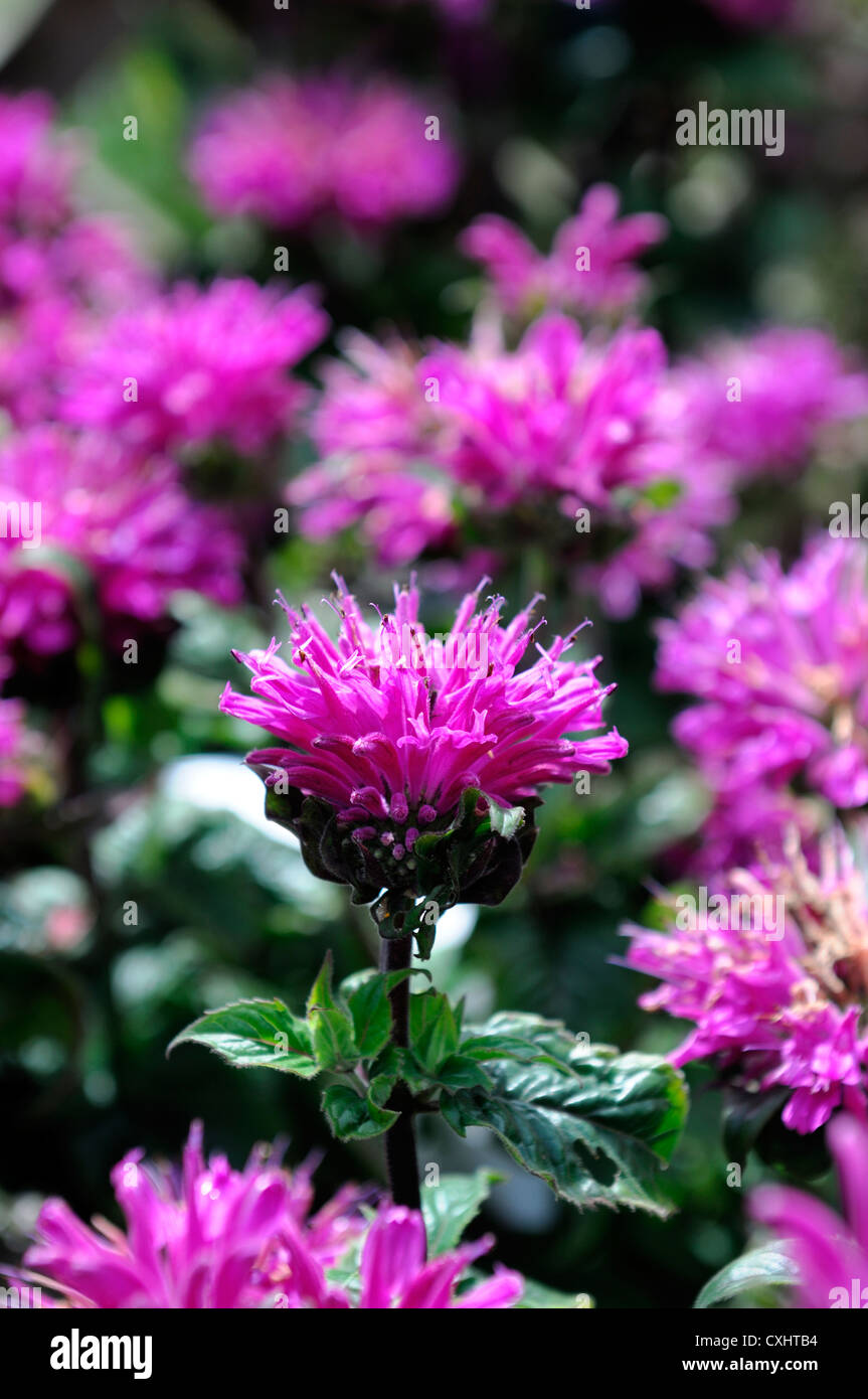 monarda didyma cranberry lace pink flower bee balm bergamot flowers perennials bloom blossom bee insect friendly - Stock Image